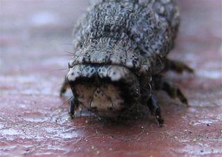 Bug A