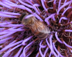 Close_up_of_bee